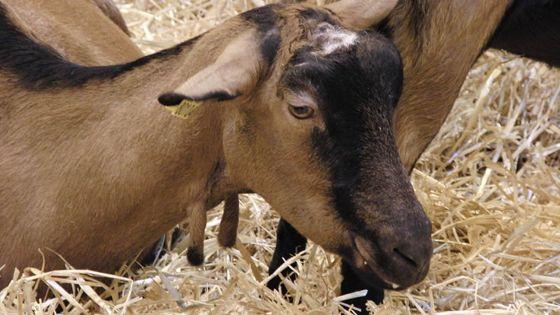 Vol d'une chèvre et de 2 moutons d'une valeur de Rs 25 000