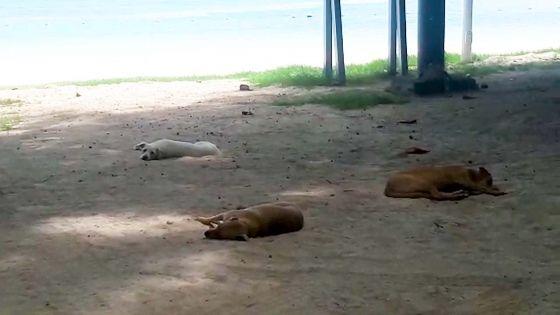 Trou-aux-Biches : des chiens profitent de la plage