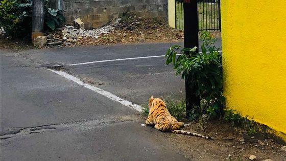 Pour inciter les habitants à ne pas sortir à Mahébourg : gare au «tigre» !