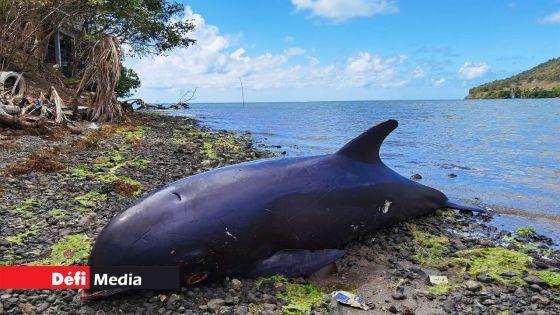 Sud-Est : sept autres dauphins morts retrouvés ce vendredi
