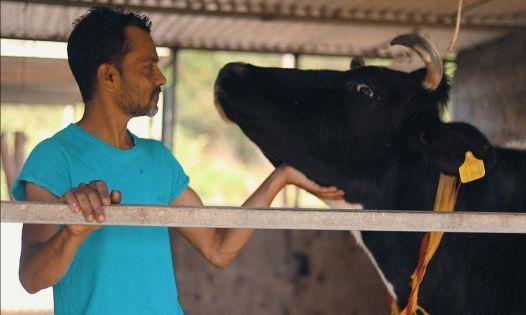 [Reportage] Vishal Gokhool : sa vache, sa confidente...