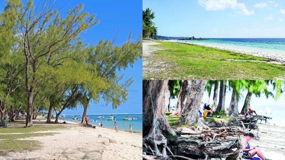 Érosion : les filaos appelés à disparaître de certaines plages