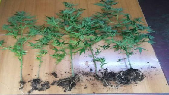 Plaine-des-Papayes – des plants de gandia cultivés dans un pneu