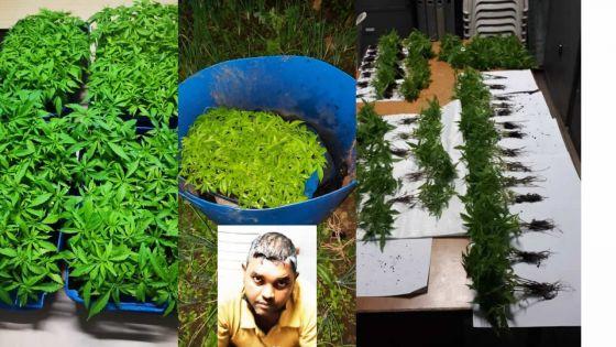 Un agriculteur arrêté pour avoir cultivé Rs 1,5 million de plants de gandia