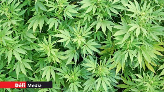 Rs 1 million de cannabis et Rs 500 000 d'héroïne saisis