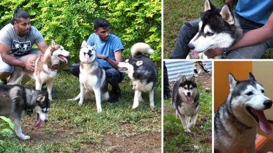 Le husky sibérien, un amour de chien !