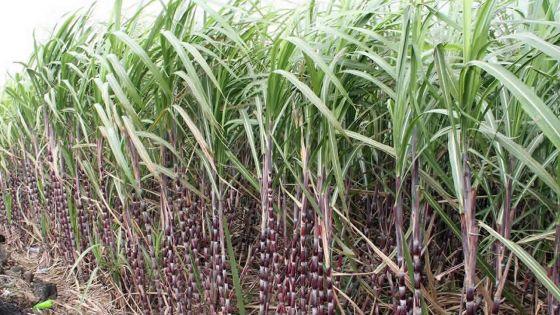 Agro-industrie - Campagne sucrière 2020: production de 310,000 tonnes de sucre