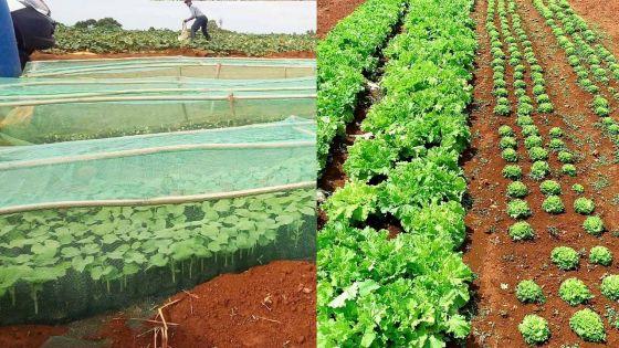 Couvre-feu sanitaire – Rose Belle Sugar Estate : des légumes disponibles à partir de ce vendredi