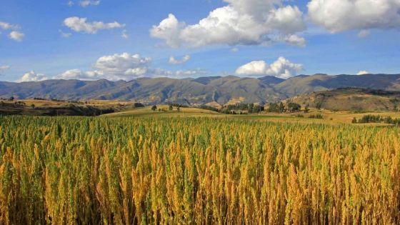 Consommation : la culture du quinoa introduite à Maurice