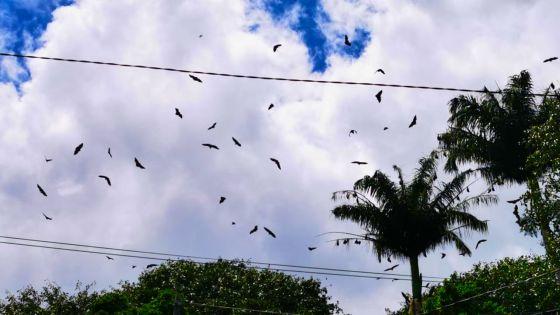 Port-Louis : des chauves-souris s'invitent à la manif des employés de MK