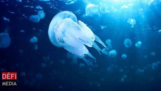 Ile-aux-Bénitiers : alerte aux méduses