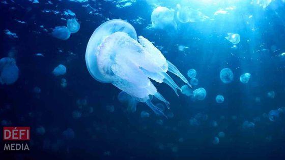 Belle-Mare: alerte aux méduses