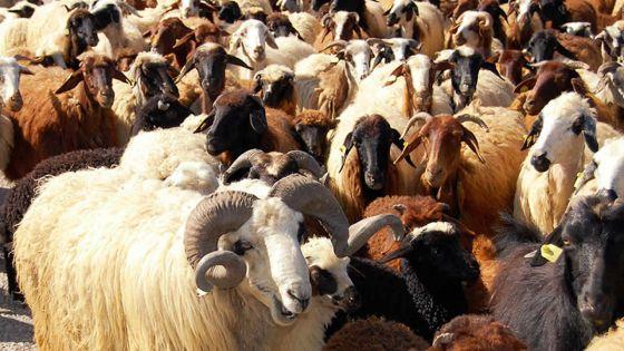 Après la mort suspecte de deux chèvres : plus de 300 animaux en provenance de Rodrigues en isolation ; le rapport des analyses attendu