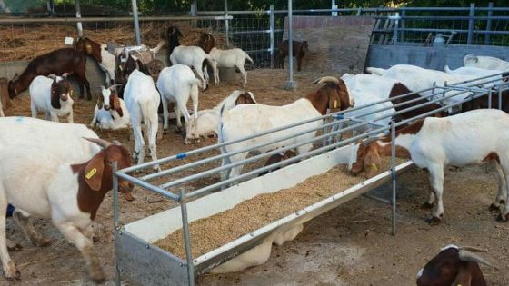 Période festive : boucs et moutons vendus jusqu'à deux fois leur prix