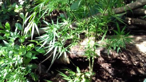 Arrêté à son domicile : il dit avoir mis du potassium dans ses plants de gandia pour les faire grandir