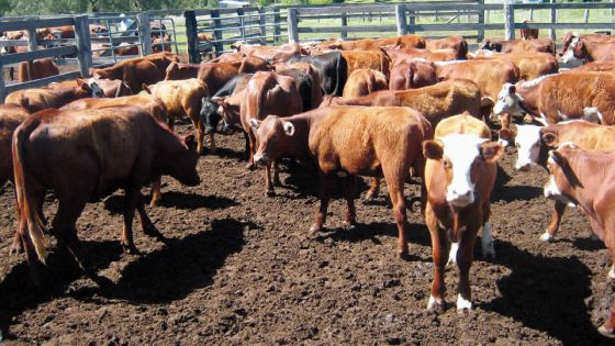 Qurbani 2019 : Rs 132.50 le kilo de bœuf sur pattes