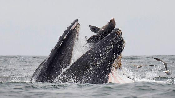 Californie : rare photo d'une otarie se faisant engloutir par une baleine