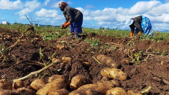 Les planteurs auront Rs 2 000 de plus pour la tonne de pomme de terre