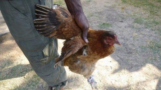 Un présumé voleur de poules arrêté à Quatre-Bornes
