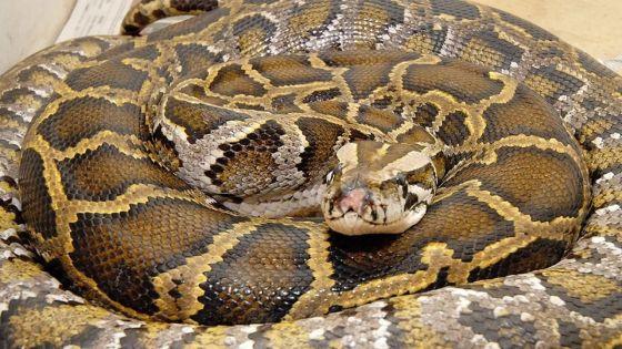Indonésie: une femme dévorée par un python géant
