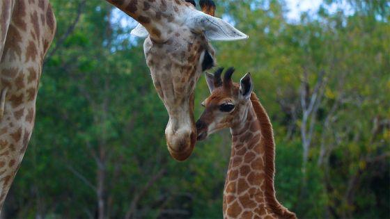 Naissance du premier girafon à Maurice : un coup de cœur nommé Nyota