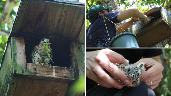 Protection des oiseaux endémiques : des Kestrelset des … hommes