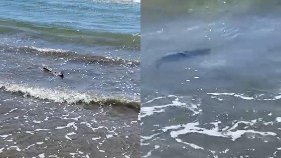 Tamarin : des bébés requins-bouledogues aperçus