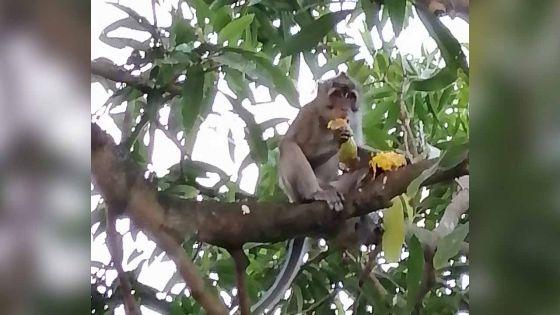 Grande-Rivière Sud-Est : un singe qui aime les mangues dérange le quotidien d'une famille