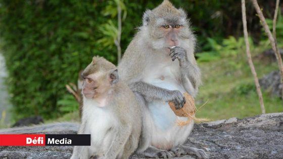 «Vaccin à 90 % efficace» contre la Covid-19 : «Des singes mauriciens ont aidé à l'élaboration de ce vaccin», affirme la Cyno Breeders Association