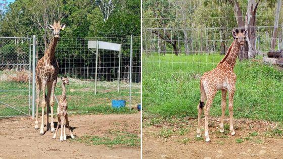 Casela Nature Parks accueille le deuxième bébé girafe mauricien