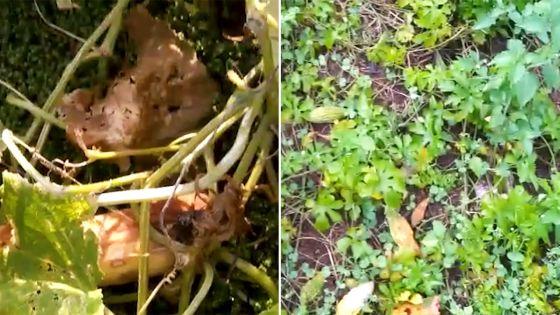 Faute de pouvoir être livrés, des fruits et légumes abandonnés dans des plantations du Sud