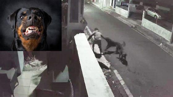 Incident survenu dimanche soir à Port-Louis : Un homme agressé par deux rottweilers risque l'amputation