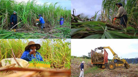 Récolte sucrière: Coupeurs et coupeuses de cannes ces  travailleurs de l'ombre