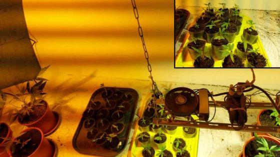 Plaine-Champagne : il cultive du gandia hybride dans son sous-sol
