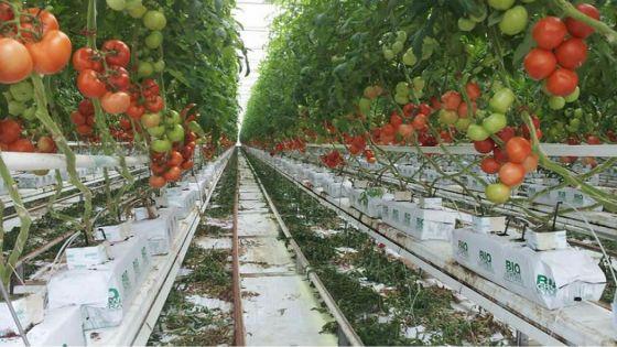 À Vacoas : 125 kilos de tomates hydroponiques emportés