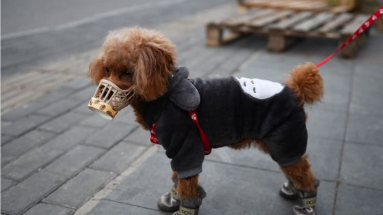 Hong Kong : un chien testé positif au coronavirus placé en quarantaine