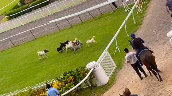 Champ-de-Mars : des chèvres volent la vedette aux chevaux