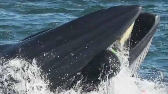 Insolite : un plongeur avalé par une baleine qui le recrache au bout de plusieurs longues secondes