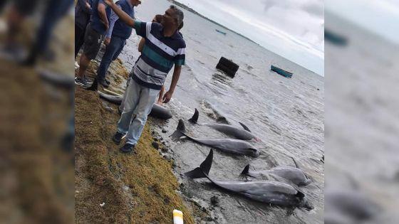 [En images] Dauphins échoués : scènes de désolation dans le Sud-Est