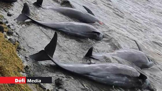 Court of Investigation sur le naufrage du MV Wakashio: les dauphins « sont morts des suites de lésions au niveau des tissus »