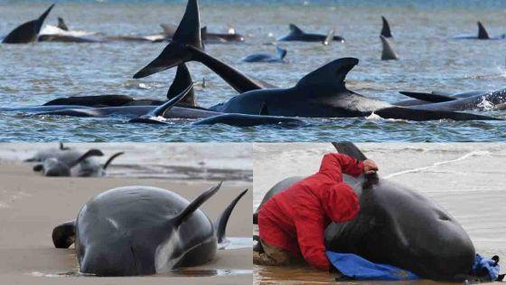 [En images] Mort de 380 cétacés coincés dans une baie en Tasmanie, selon un bilan des sauveteurs