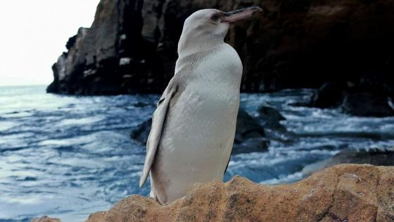 Equateur: Un rare pingouin blanc découvert dans l'archipel des Galapagos