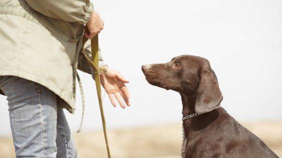 L'élevage de chiens de race : Les propriétaires de molosses doivent les éduquer, plaide un 'dog trainer'
