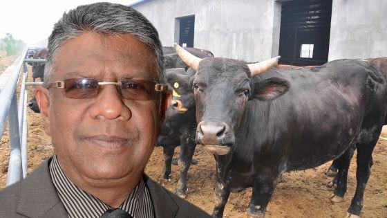 Importation de bétail: Le GM étudie la possibilité d'acheter un 'cattle carrier'
