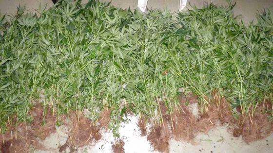 Henrietta: 250 plants de cannabis évalués à Rs 3 M déracinés