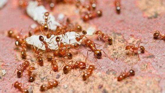 Fourmis rouges: comment les éloigner sans pesticide