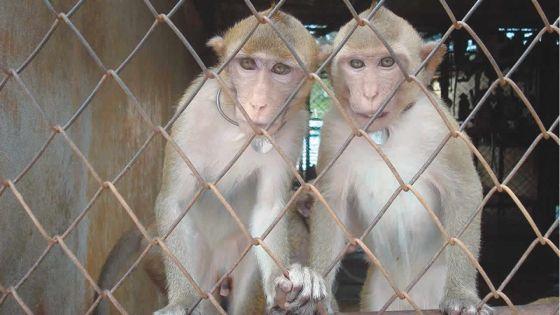 Le gouvernement défend l'exportation de singes pour des expériences