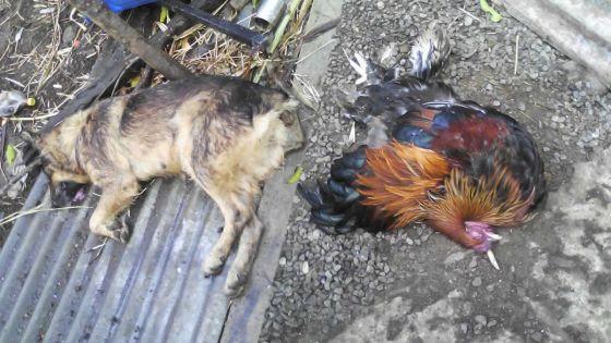 Dans une ferme à Petite-Julie: deux bergers allemands et 50 canards empoisonnés