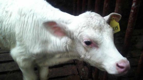 À Port-Louis: des éleveurs se disent privés de subventions depuis 2014