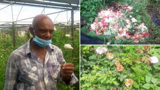 Moka : Un cultivateur de fleurs doit jeter entre 50 % et 60 % de sa production